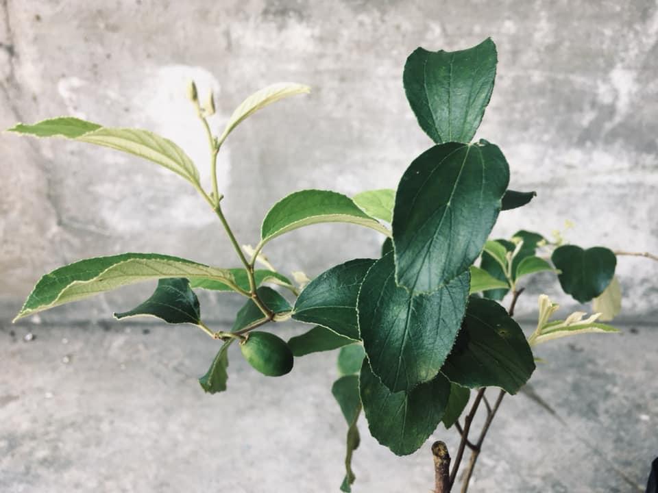 Pokok Bidara Epal