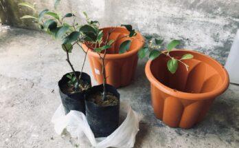 Menanam Pokok Bidara