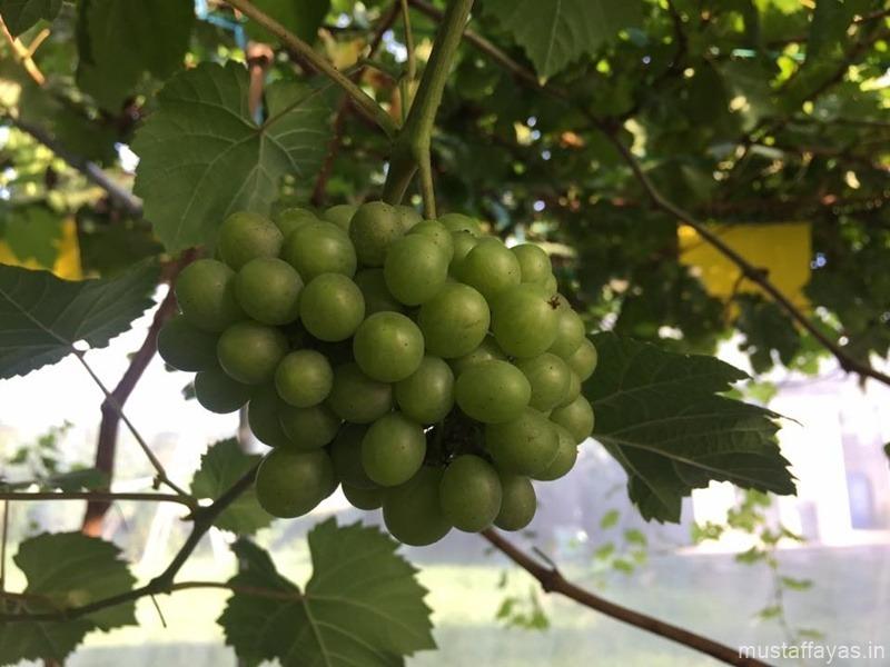 Melihat Anggur Berbuah Di Jon Grapevine and Fig, Tamparuli
