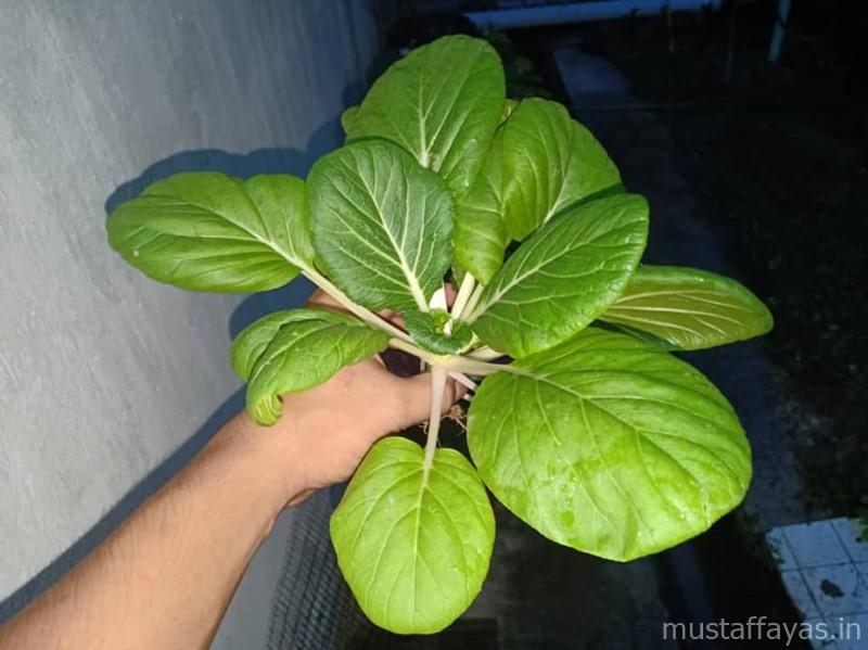 2 Jenis Sayur Yang Mudah Dipetik Di Kebun Belakang Rumah