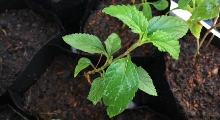 Pokok Pemanis Stevia