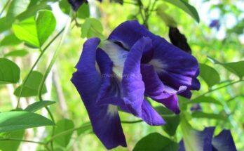 Gambar Bunga Telang