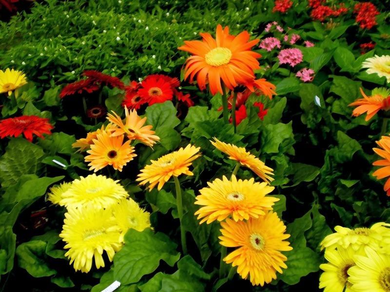 Tanaman Hiasan Dalam Rumah - Pokok Bunga Kekwa