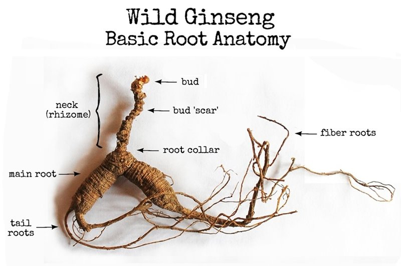 Wild ginseng roots -3 Plants Can Growing In My Backyard For Maximum Profit